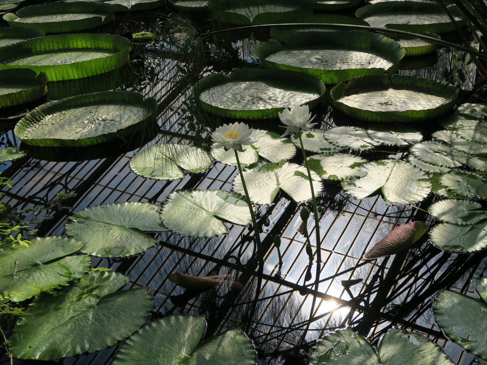 Waterlilies at Kew Gardens
