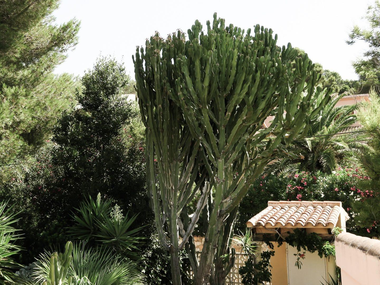 Giant cactus overlooking doorway